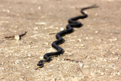 Grass snake with his tongue hanging out crawling on ground, clos Stock Photography