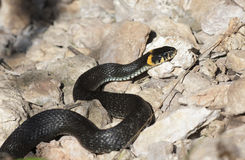Grass snake with his tongue hanging out crawling on ground royalty free stock photo