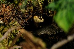 Grass Snake in the Hole Stock Photos
