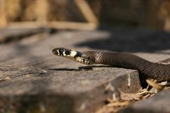 Grass-snake on hunt Stock Photography