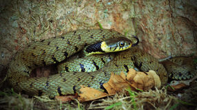 A grass snake Royalty Free Stock Image