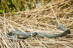 Grass-snake at a lake. Grass-snake natrix curling on reed Stock Images
