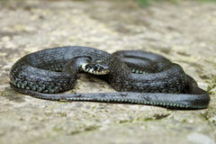Grass snake Stock Images