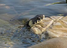 Grass snake looking from the water Stock Images