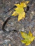 Grass-snake Royalty Free Stock Photos