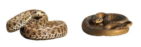 Grass snake and meadow viper over white Stock Photo