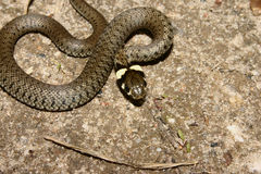 Grass Snake (Natrix natrix) Stock Images
