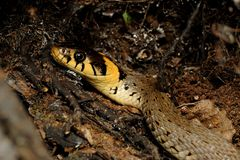 Grass Snake (Natrix Natrix) Stock Photos