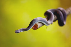 Grass snake (Natrix natrix) Stock Photo