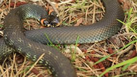 Grass Snake Natrix Natrix Adder Head Raising Defensiveness In Forest Early Spring Forest. Snake Moving A Coil stock footage