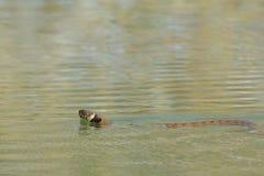 Grass snake (Natrix natrix), Stock Photo