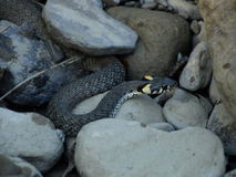 Grass snake (Natrix natrix). In Carpathian Mountains, Romania in a river Valley of Putna in Vrancea Stock Photography