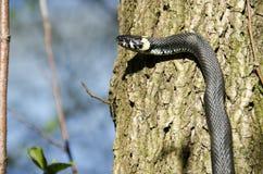 Grass snake, Natrix Natrix Royalty Free Stock Photo