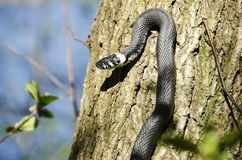 Grass snake, Natrix Natrix Royalty Free Stock Image