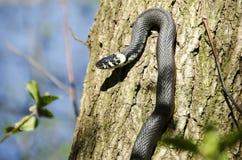 Grass snake, Natrix Natrix Royalty Free Stock Image