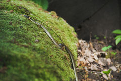 Grass snake (Natrix natrix) Royalty Free Stock Photos