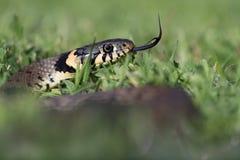 Grass Snake (Natrix Natrix) Stock Photos