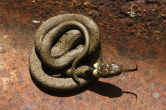 Grass Snake (Natrix natrix). A Grass Snake (Natrix natrix) curled up on a metal sheet warming up in the sun stock images
