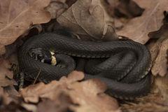 Grass snake & x28;Natrix natrix& x29; among dry oak leaves. Grass snake, also known as ringed snake or water snake, Natrix natrix, curled up among dry Stock Photography