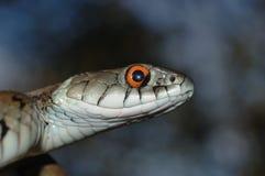 Grass snake. (Natrix natrix) head raising defensiveness Stock Images