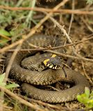 Grass snake (Natrix natrix). Hid under a bush waiting for prey Stock Image