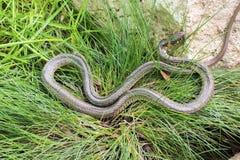 Grass snake (Natrix natrix) Stock Images