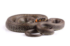 Grass snake (Natrix natrix) isolated on white Stock Image