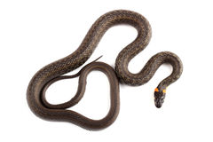 Grass snake (Natrix natrix) isolated on white Stock Photography