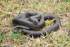 Grass snake (Natrix natrix) Royalty Free Stock Photo