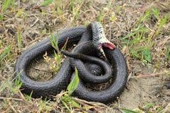 Grass snake (Natrix natrix) Stock Image