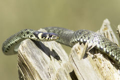 Grass snake  / Natrix Natrix Royalty Free Stock Image