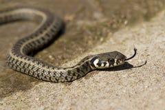 Grass snake (Natrix natrix). Ringed snake or water snake, is a Eurasian non-venomous snake Stock Photos