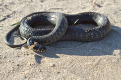 Grass snake (Natrix natrix) Royalty Free Stock Photos
