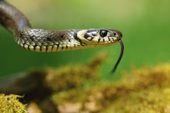 Grass snake Natrix natrix Royalty Free Stock Images