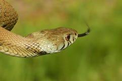 Grass snake (Natrix natrix). Showing his tongue Stock Images