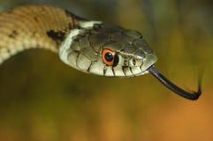Grass snake (Natrix natrix). Showing his tongue Royalty Free Stock Image