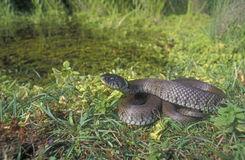 Grass snake, Natrix natrix Stock Photography