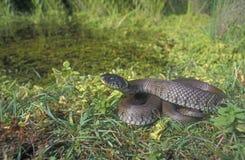 Grass snake, Natrix natrix Stock Photography