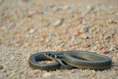 Grass snake Natrix natrix Stock Photos