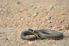 Grass snake Natrix natrix Stock Photo