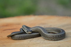 Grass snake Natrix natrix Stock Photography