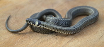 Grass snake Natrix natrix Stock Images