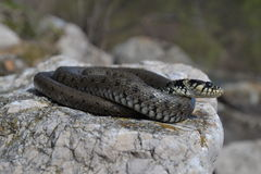 Grass snake Natrix natrix Royalty Free Stock Photography