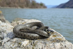 Grass snake Natrix natrix Royalty Free Stock Image