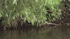 Grass snake Natrix natrix swim in river shades. Full HD video of summer river inhabitants