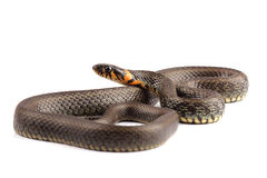 Grass snake (Natrix natrix)  on white Stock Images