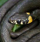 Grass snake. Stock Photography