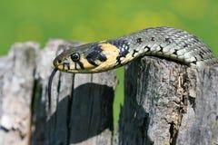 Grass-snake On Stump Royalty Free Stock Photo