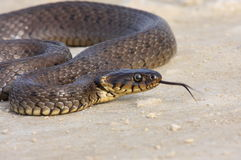 Grass snake portrait Royalty Free Stock Images