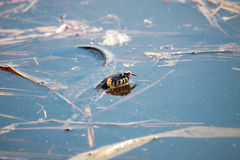 Grass snake, sometimes called the ringed snake or water snak Royalty Free Stock Images